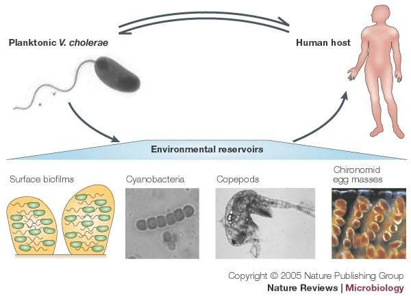 باکتری ویبریو کلرا عامل بیماری وبا Vibrio cholerae