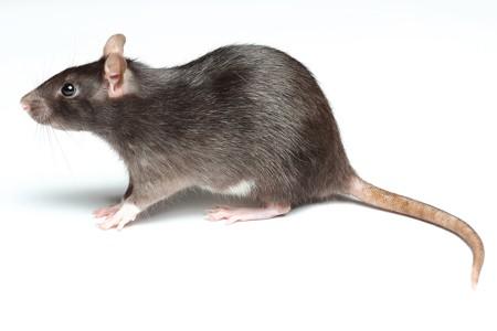موش از چی بدش میاد بهترین طعمه برای تله موش چسب موش چگونه موش را در خانه بگیریم موش فاضلاب سم موش کشتن موش خانگی